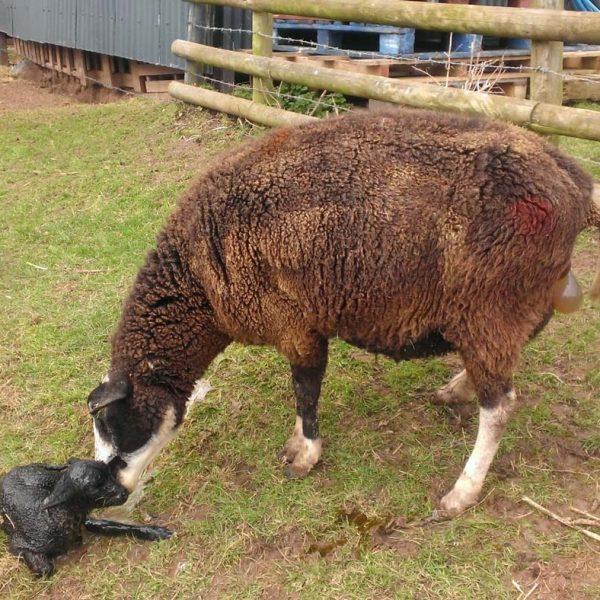 lamb-birth-1-wp_20130319_00