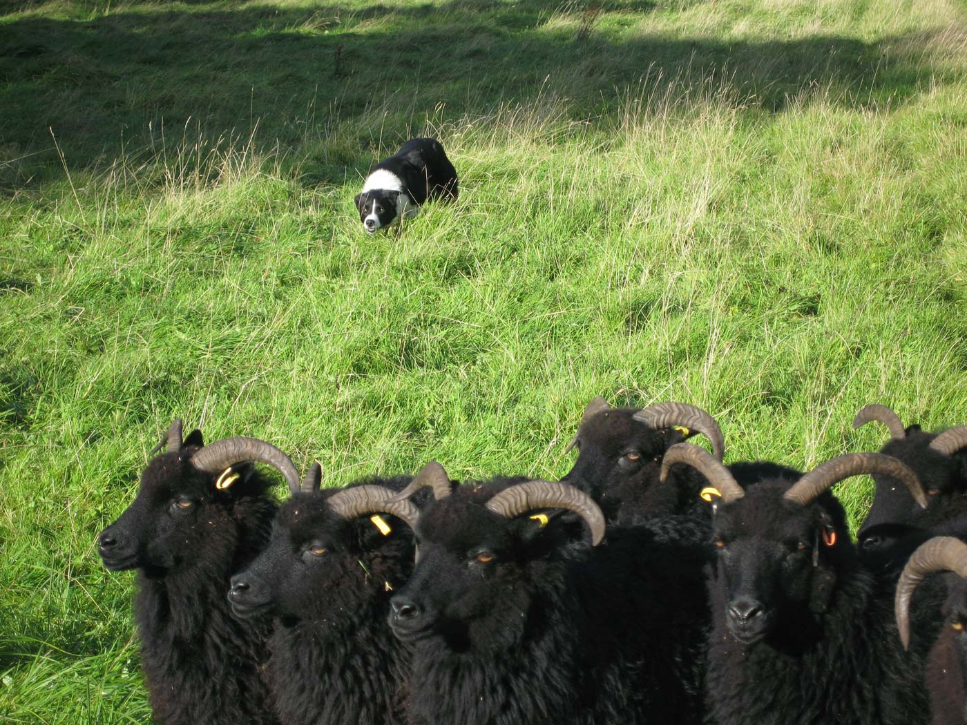 sid-and-sheep-img_6291